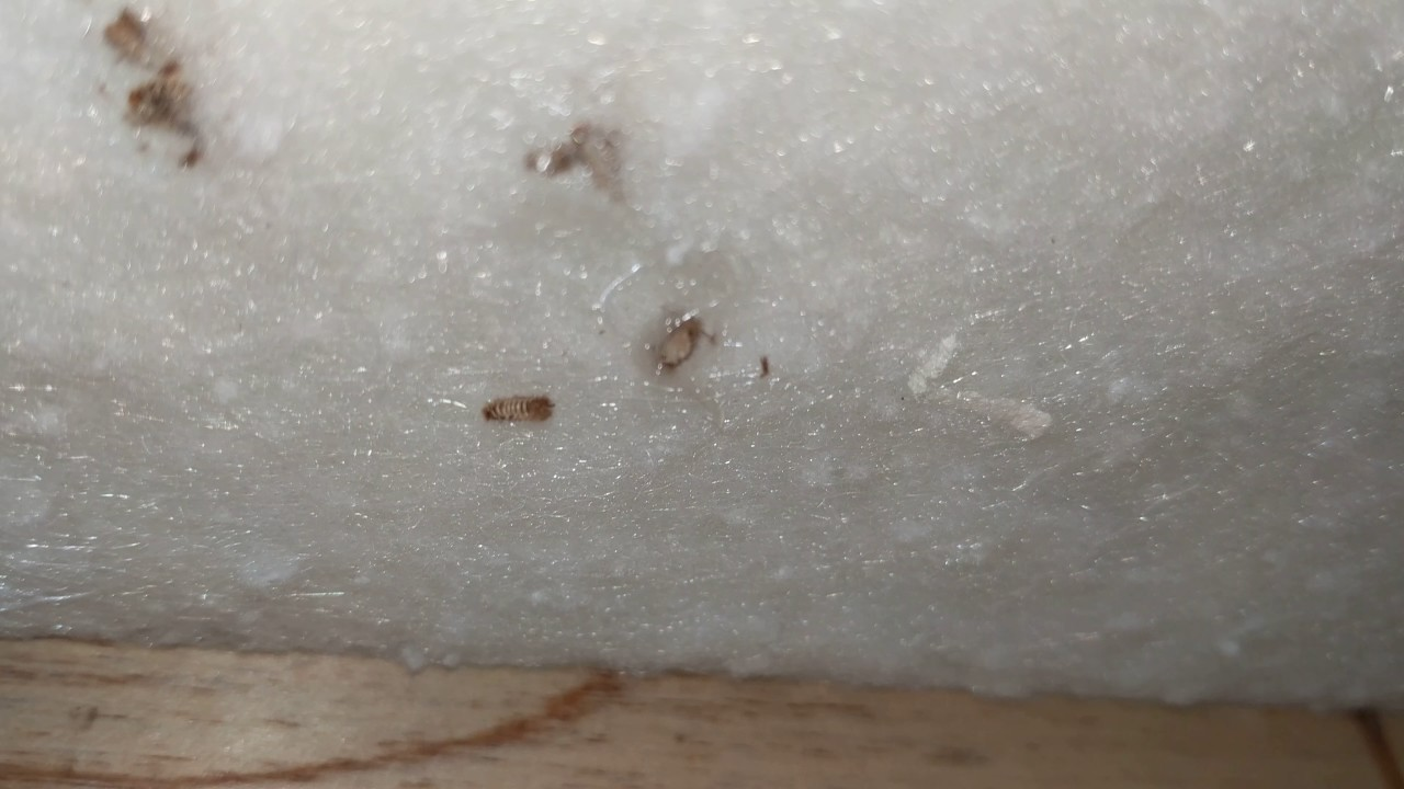 carpet beetles eggs in carpet